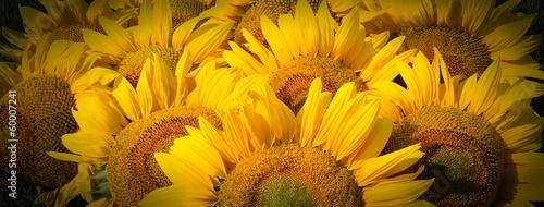 Sunflower sunflowers macro