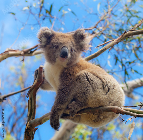 Foto op Canvas Koala Koala in Great Ocean Road, Victoria, Australia