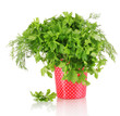 Colorful pot with parsley and dill isolated on white