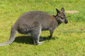 Le wallaby (mot d'origine aborigène) est un kangourou de petite