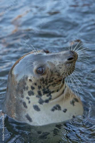 grey seal portrait