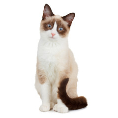 Snowshoe cat, isolated on white