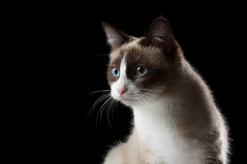 Snowshoe cat portrait, isolated on black