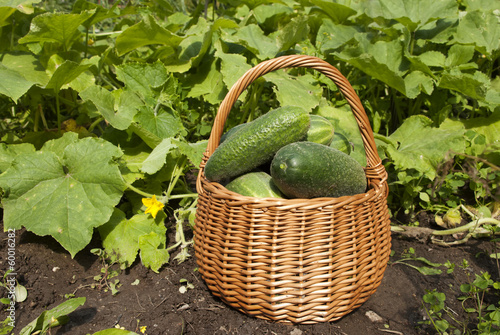 Basket of tresh cucumbers