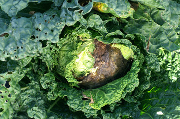 Fungal disease on cabbage