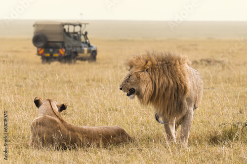 Fotobehang Leeuw African lion couple and safari jeep