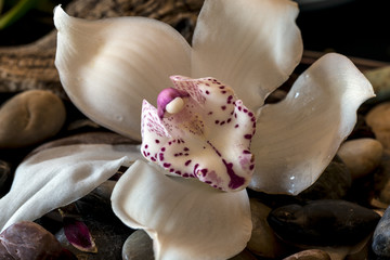 Cymbidium or boat orchid