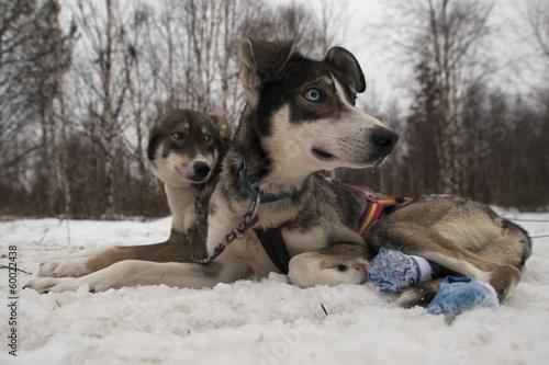 Foto op Aluminium Scandinavië husky dog