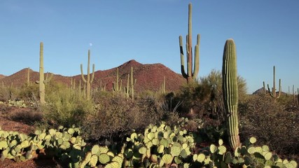 Saguaro National Park, Arizona, USA at sunset. Nature, landscape