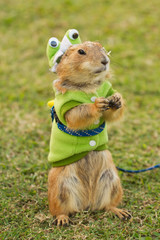 prairie dogs dress up as a green frog standing upright on field