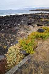 flower branch   in  lanzarote spain musk  rock stone sky     and