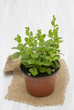 Mint in a pot on a wooden table