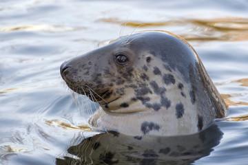 grey seal portrait