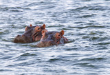 Beautiful Hippos at Naivasha lake