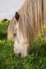 Browsing Icelandic White Horse