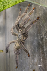 Big Mexican Redknee Tarantula. Brachypelma Smithi