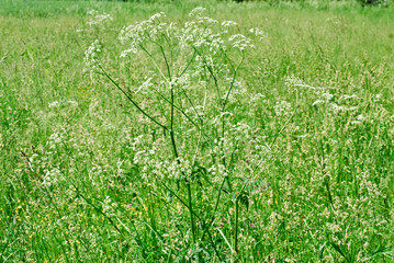 Queen Anne's Lace or wild carrot Daucus carota