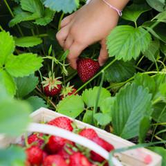 Strawberry - child picking fresh strawberries