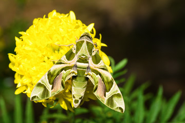 Hawk moth on marigold flower