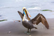 Pelican on Ballestas Islands,Peru  South America