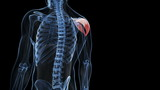 Medical animation - highlighted muscle - deltoid poster