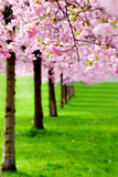 flowering cherry, sakura trees