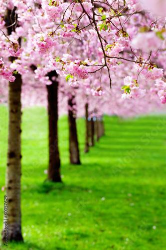 Fotobehang Kersen flowering cherry, sakura trees
