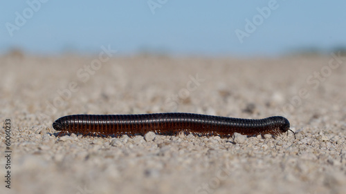 Large millipede, Africa