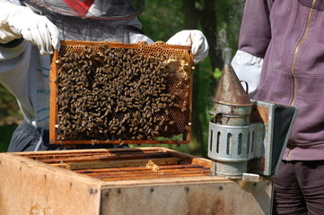 Beekeeper looking at a hive