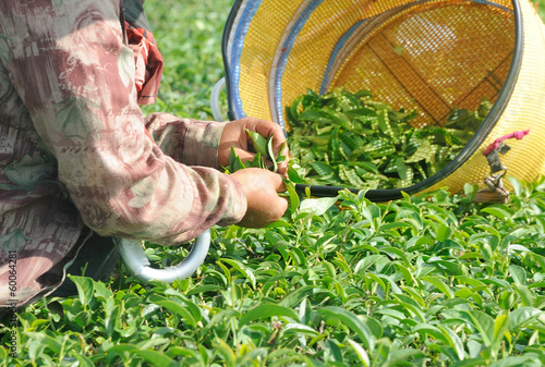 hand picking tea leaves in a tea plantation
