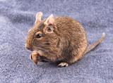 Degu sitting on a blue textile background