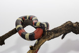 milksnake on wood