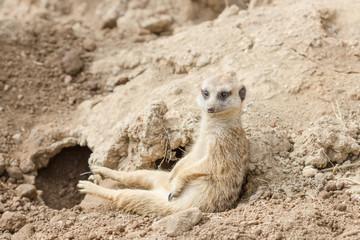 Slender-tailed meerkat or suricate, Suricata suricatta