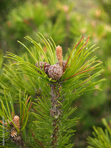Escapes of a pine mountain with cones and kidneys (Pinus mugo Tu