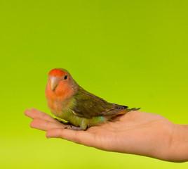 oiseau inséparable apprivoisé dans un main