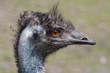 Detailed portrait of an emu