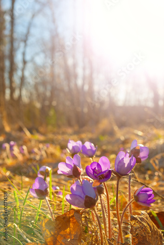 Hepatica nobilis flowers in spring nature in surroundings