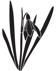 Silhouette snowdrops flower