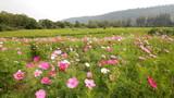 HD , Cosmos flower field in breeze