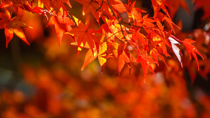 Red maple leaves in autumn in Nara Park