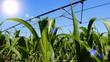 Irrigating of corn