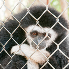 Gibbons in a cage