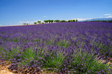 Lavender field. Provence, France