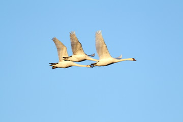 beautiful swans flying