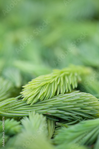 Spruce sprouts background