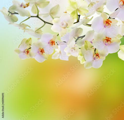 Japanese flower Orchid. Beauty flora Card