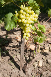 white grapes growing from soil with selective focus