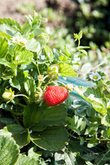 Ripe strawberry growing on bush with selective focus