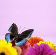 Schmetterling mit Gerbera vor lila Hintergrund