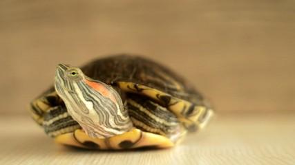 bog turtle hiding its head in armor